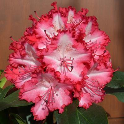Rhododendron Grifie