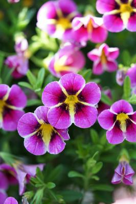Calibrachoa Rave® Pink Hawaii von Selecta one