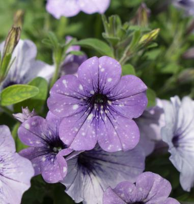 Petunia LavenderSky from Selecta one
