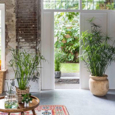 Cyperus alternifolius indoor